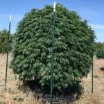 Marijuana plant grown in smart pot