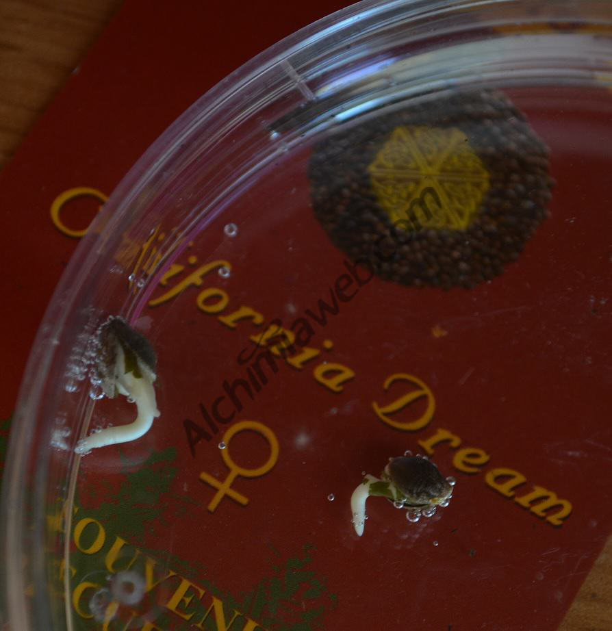 California Dream Seeds in Jumus Starter Kit
