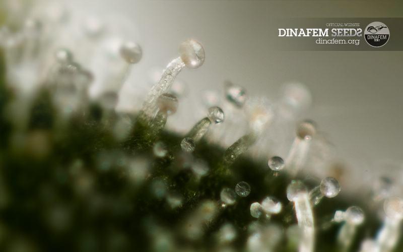 Tricomas-de-cannabis
