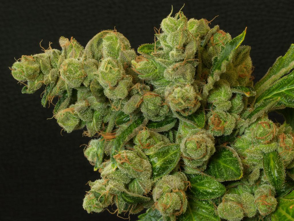 Marijuana produces a large number of terpenes