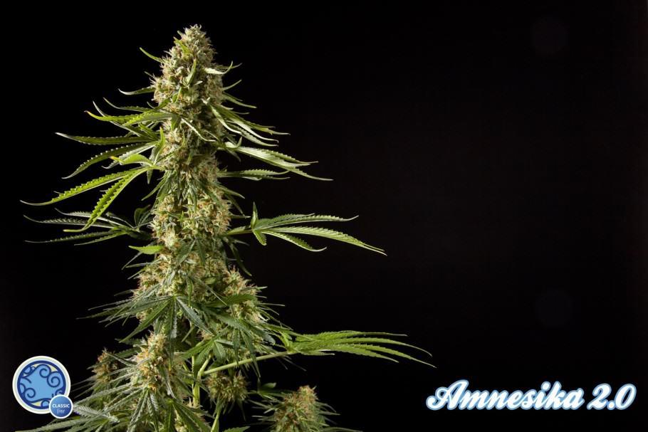 WEB0045_Amnesika-2.0-Floración-910x607
