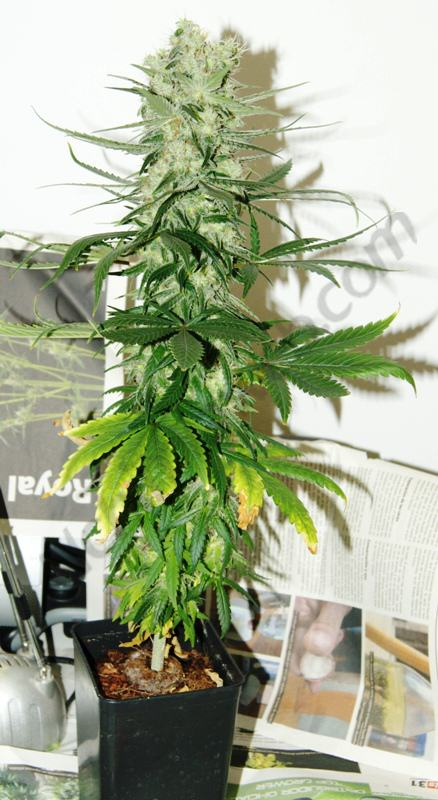 Deficiency And Excess Of Potassium In Cannabis Plants ...