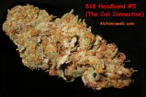 Detail view of a 818 Headband Bud