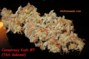 Detail view of a Conspiracy Kush bud from TGA