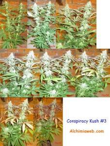 Conspiracy Kush from TGA Subcool