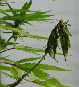 Cannabis plant attacked by Pythium