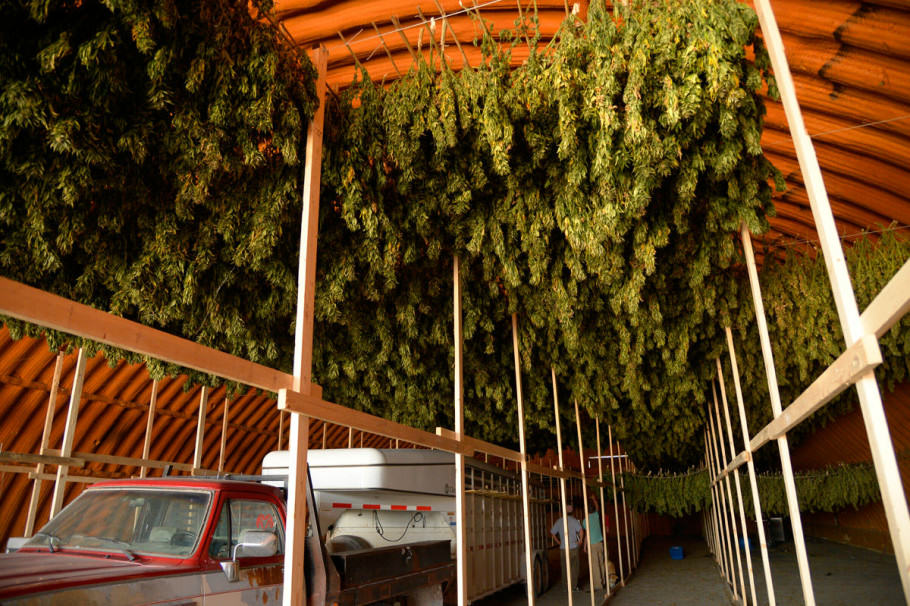 Cannabis plants drying