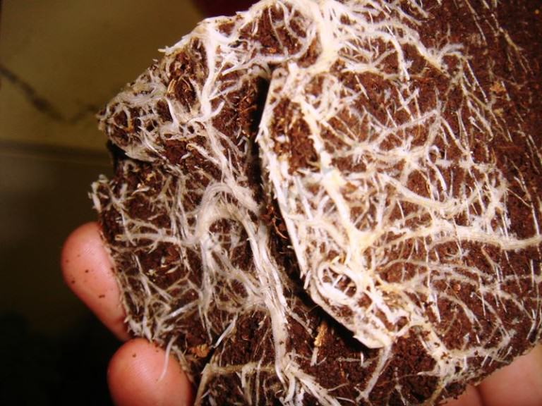 Root rot on cannabis plants
