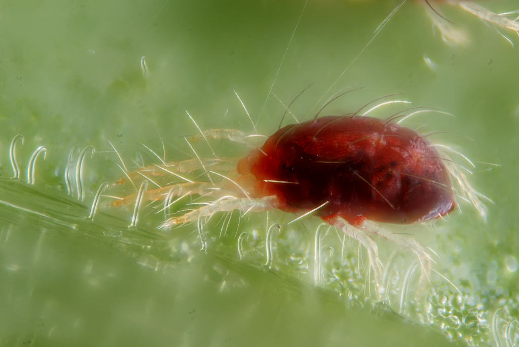 Spider mite Tetranychus urticae, female