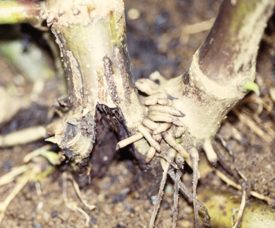 Root rot causes severe damages on both roots and stems