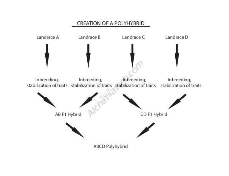 Basic nomenclature of cannabis genetics