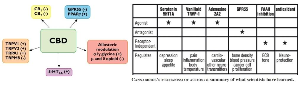 CBD acts on several receptors of the human body