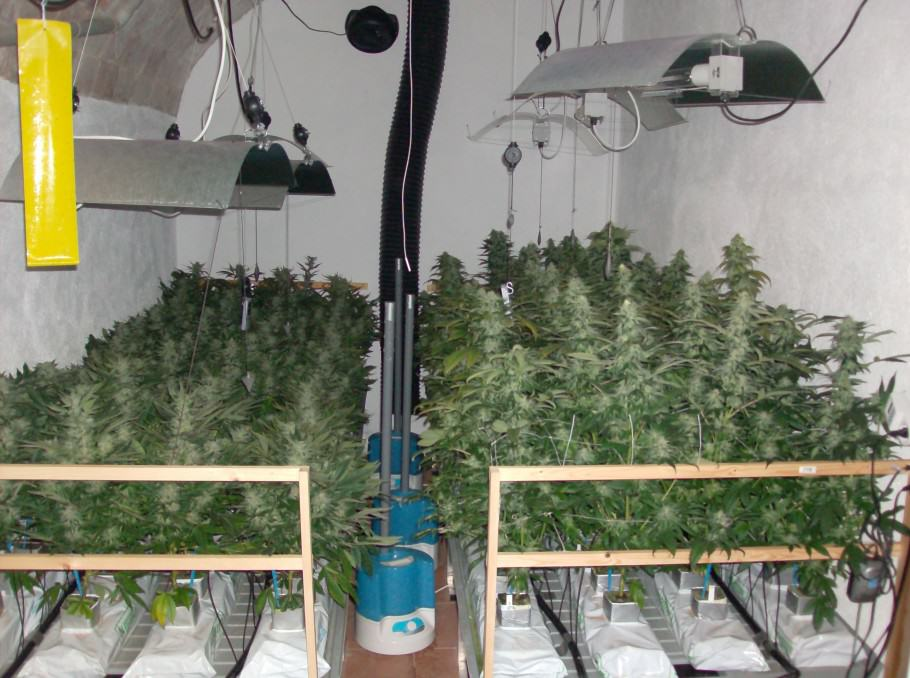 Hydroponic cannabis grow using Rockwool