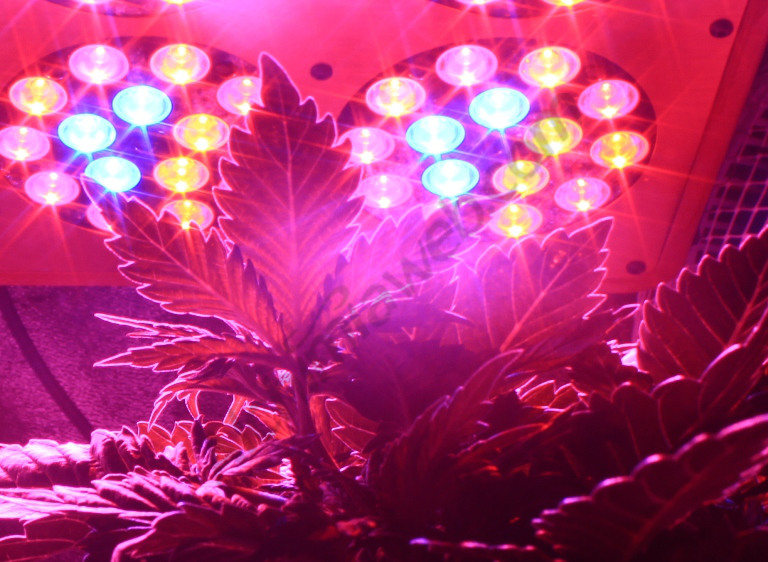 Organic Grow Of Prozack With 280w Phytolite Led Panel