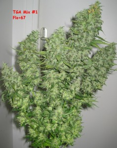 Buds from TGA Subcool Seeds
