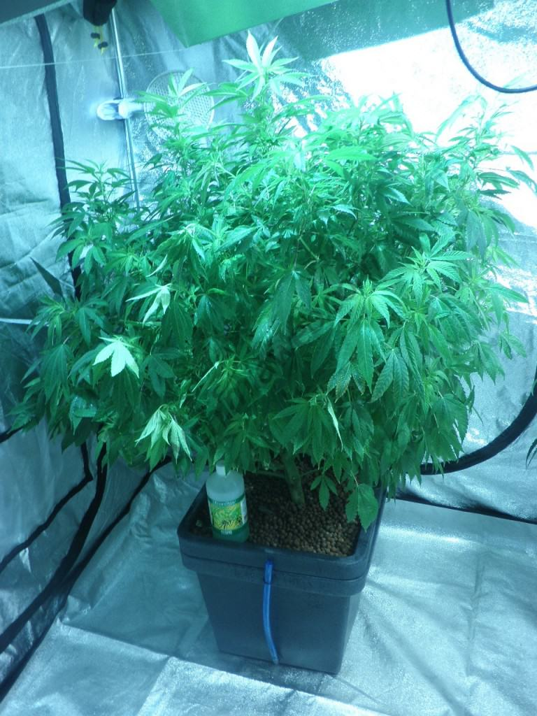 Cannabis grown in Aquafarm