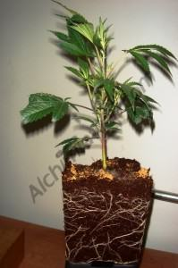Chronic plant in 1.65 L pot with coco coir