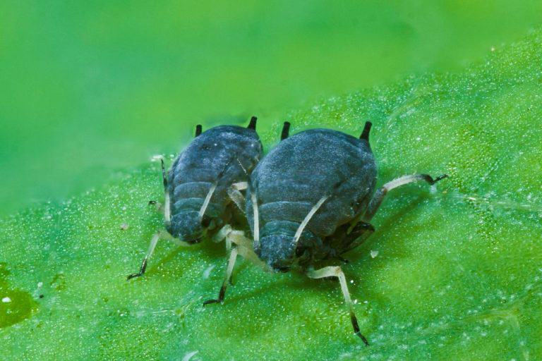 How to combat aphids on marijuana plants