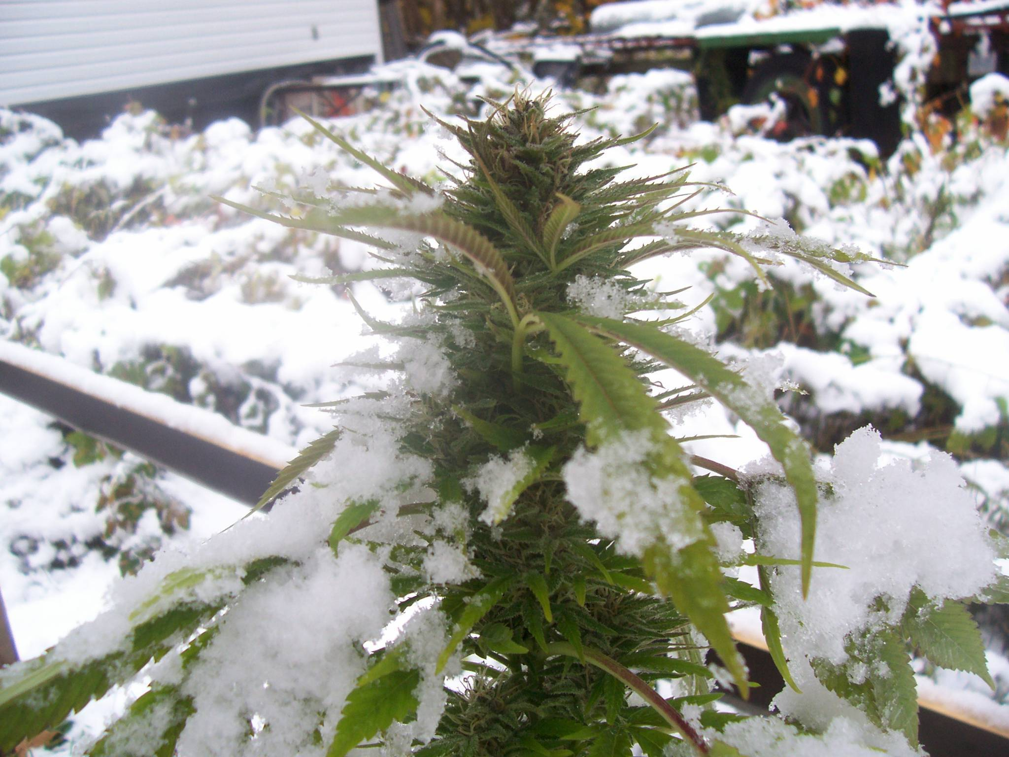 Marijuana fighting against the winter