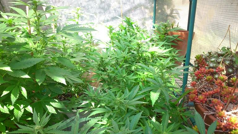 Healthy cannabis plants in flowering protected from low temperatures