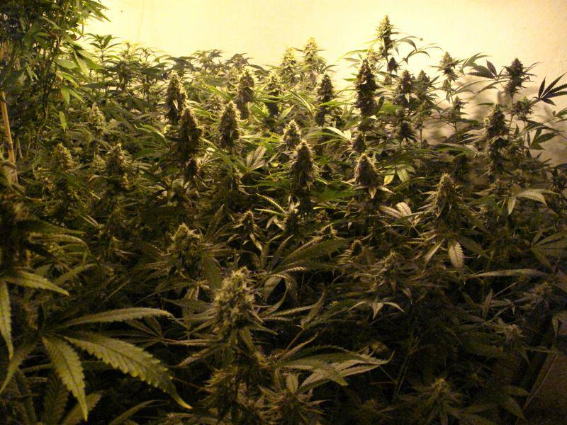 Reggae Seeds indoor grow