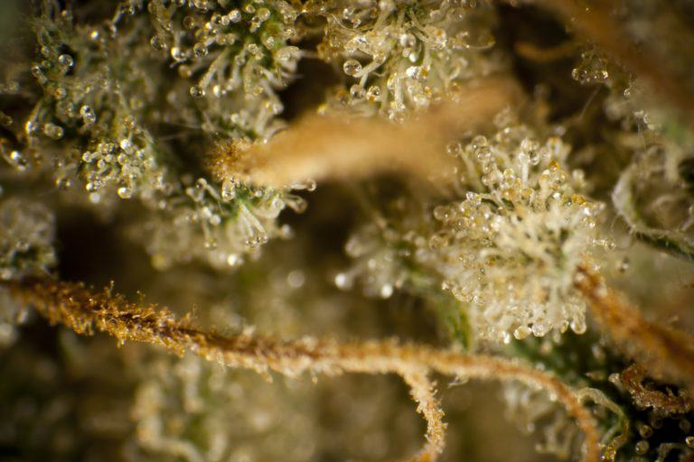 Cannabis produces trichomes as a defence mechanism