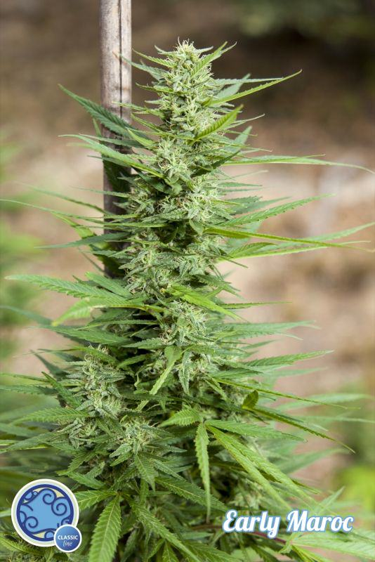Early Maroc by Philosopher Seeds, the fastest strain for outdoor crops