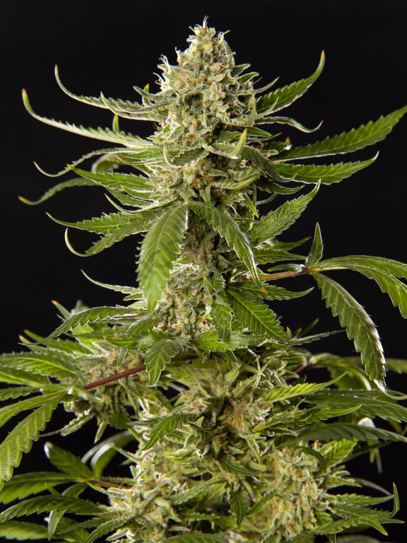 Lemon OG Candy is a highly productive cannabis strain