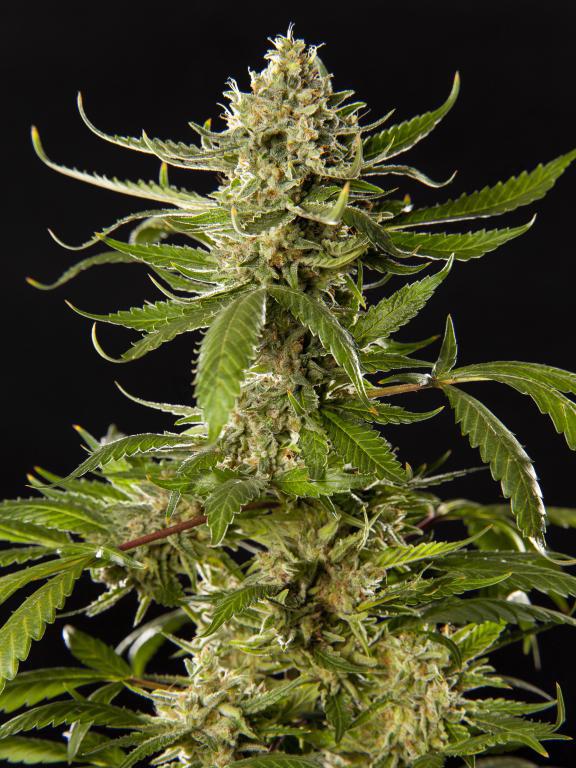 7 high yielding cannabis strains - Alchimia blog