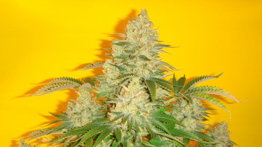 Blue Iguana from Mosca Seeds