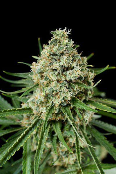 Dinafem's Critical + 2.0, high yields and early flowering
