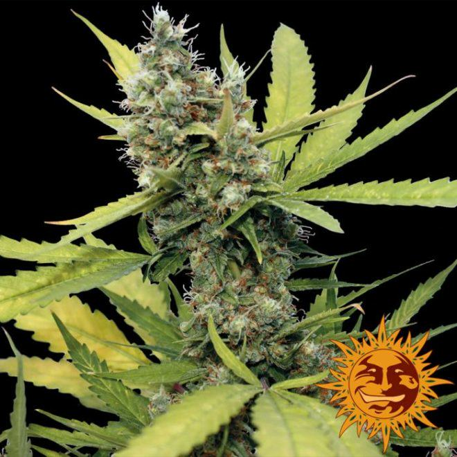 Honey B from Barney's Farm, a highly productive Sativa