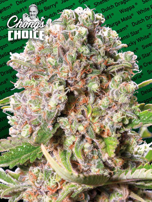 Mendocino Skunk Chong's Choice by Paradise Seeds