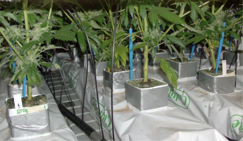 A rock wool indoor grow