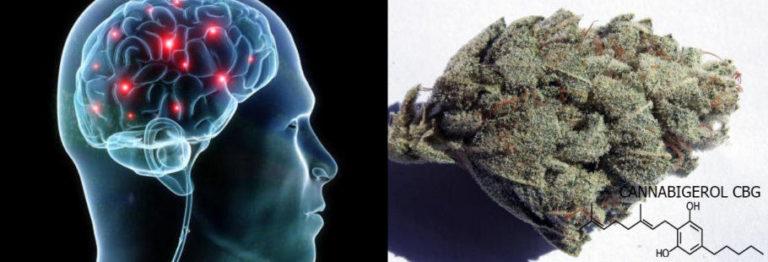 Cannabigerol CBG: The main precursor to all cannabinoids