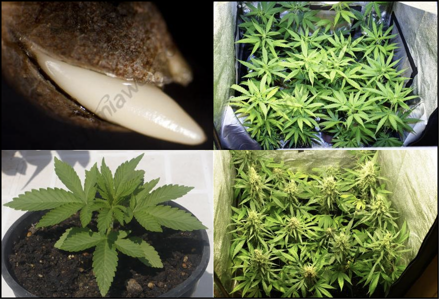 Flowering In Cannabis Plants Alchimia Blog