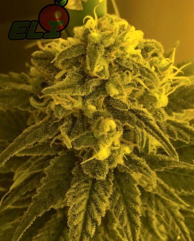 The thick layer of trichomes developed by Eli produces top grade resin extracts