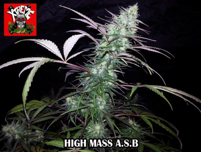 High Mass ASB by Xtreme Seeds, the new generation of auto strains