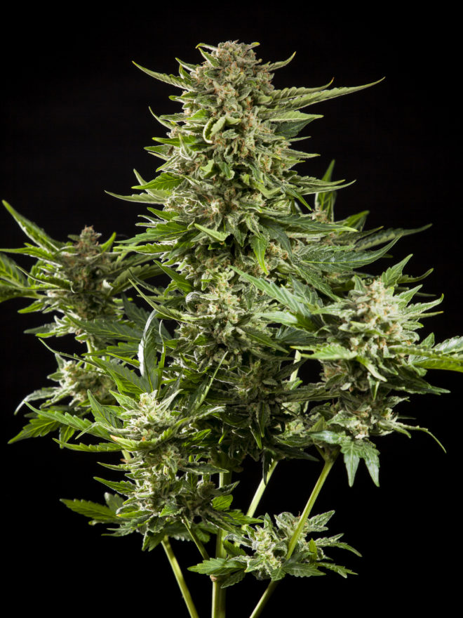 Cheesy Auto by Philosopher Seeds, the auto version of the legendary Exodus Cheese