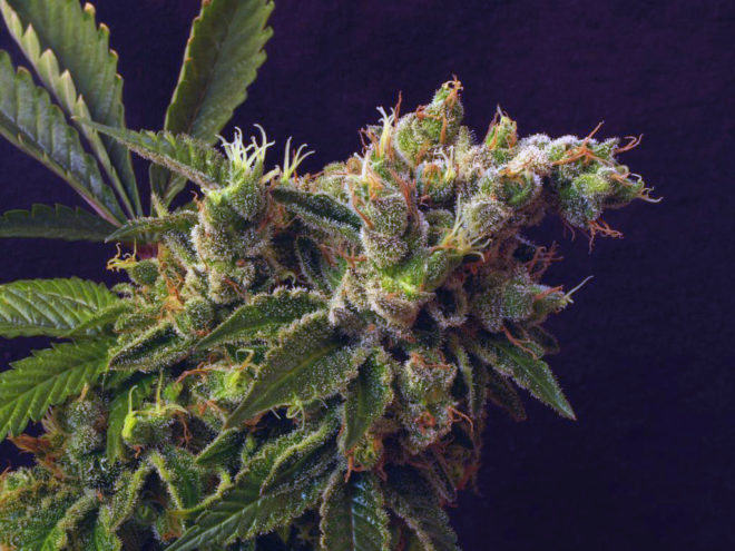 The amazing Rosetta Stone by Brothers Grimm Seeds
