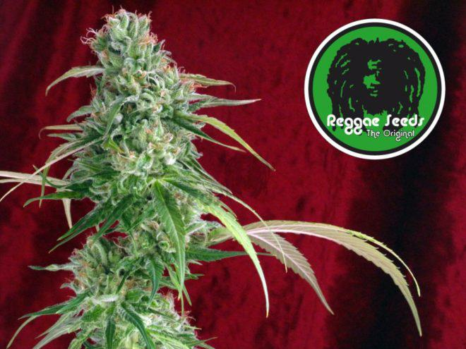 Juanita la Lagrimosa by Reggae Seeds, balanced THC:CBD ratio