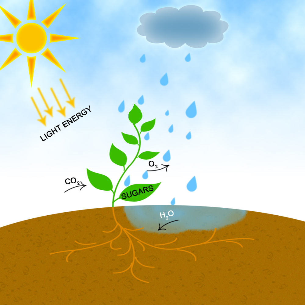 Photosynthesis: Light, CO2 and water are transformed into sugars and O2