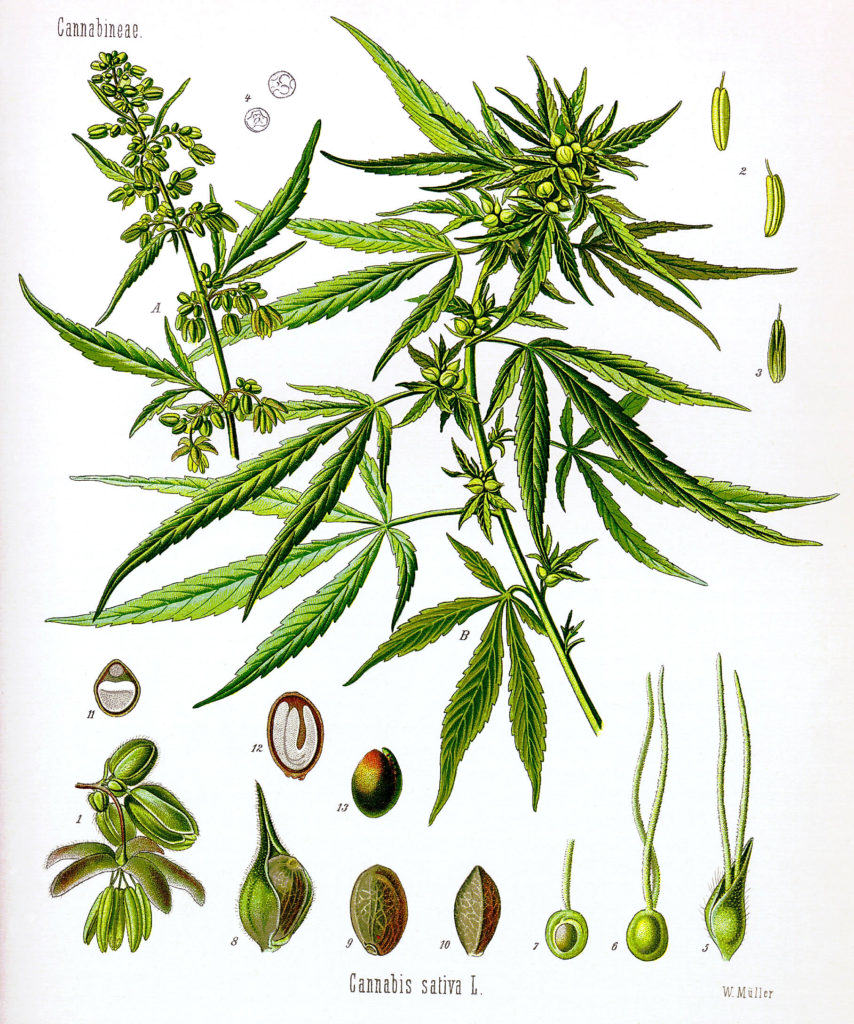 Anatomy of the Cannabis plant - Alchimia blog
