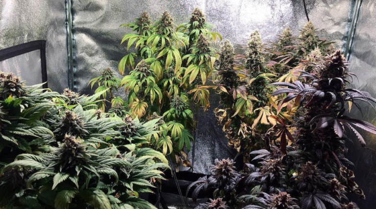 A colourful indoor cannabis garden