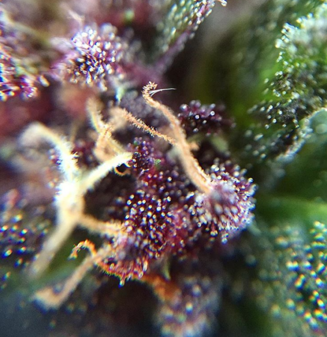 Cannabis buds can develop beautiful colours
