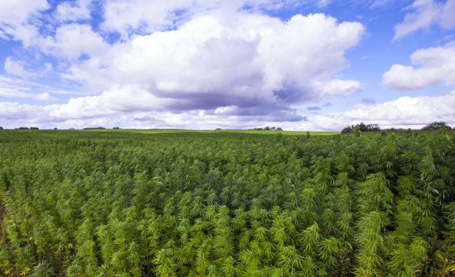 Hemp cultivation is recovering its former importance