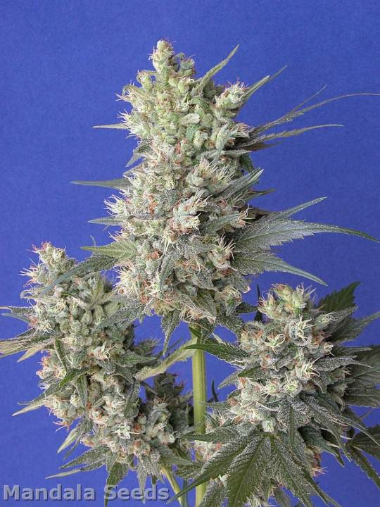 Kalichakra from Mandala Seeds Bank