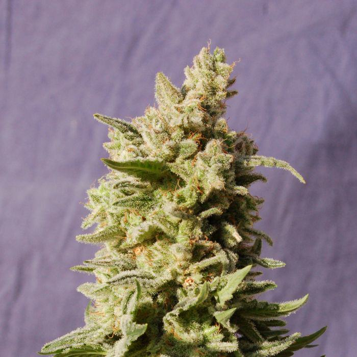 Flower of Mataró Blue by Kannabia Seeds