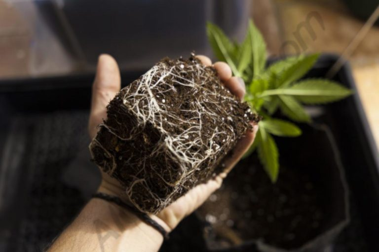 Cannabis roots: A complete guide
