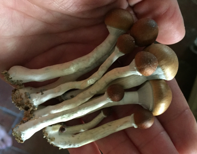 Microdosing psilocybin is becoming increasingly popular